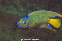 Queen Angelfish on the Big Coral Knoll off the beach in F... by Michael Kovach 